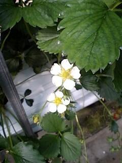 いちごたんのお花♪